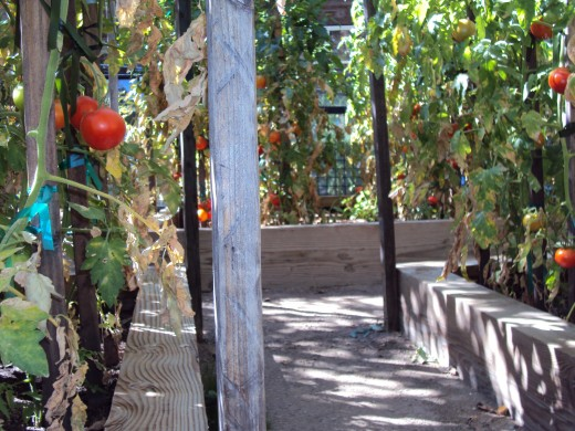 Looking down the garden path with tomatoes along both sides.