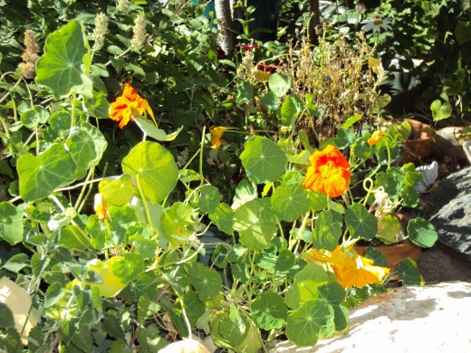 Nasturtiums are beautiful to look at.
