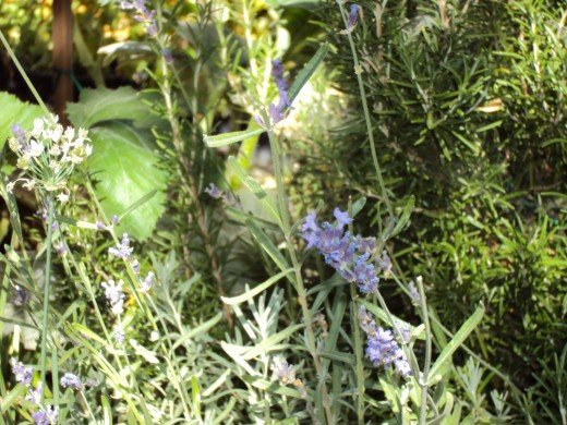 Lavender and other herbs in the garden.