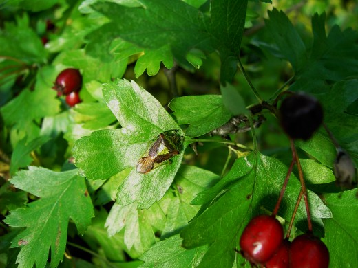 Creatures such as the hawthorn shield bugs are often encountered on the foliage