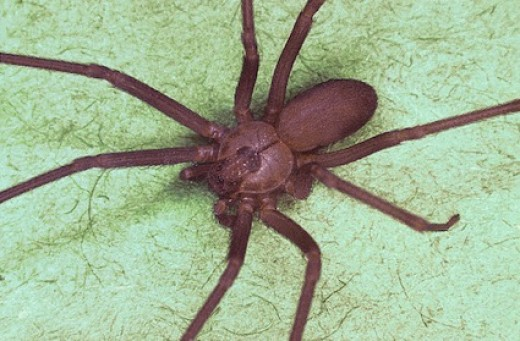 brown recluse spider bite treatment. The Brown Recluse Spider