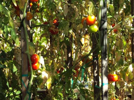 Deletable tomatoes in the garden make for lovely salsas.