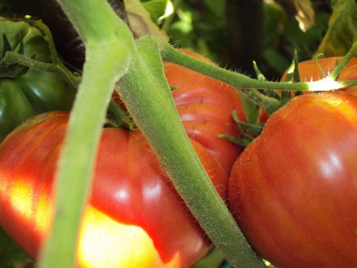 I like how the vine of the tomatoes makes a cross hatched image in this photograph.