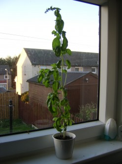 A Basil Plant on the Kitchen Windowsill
