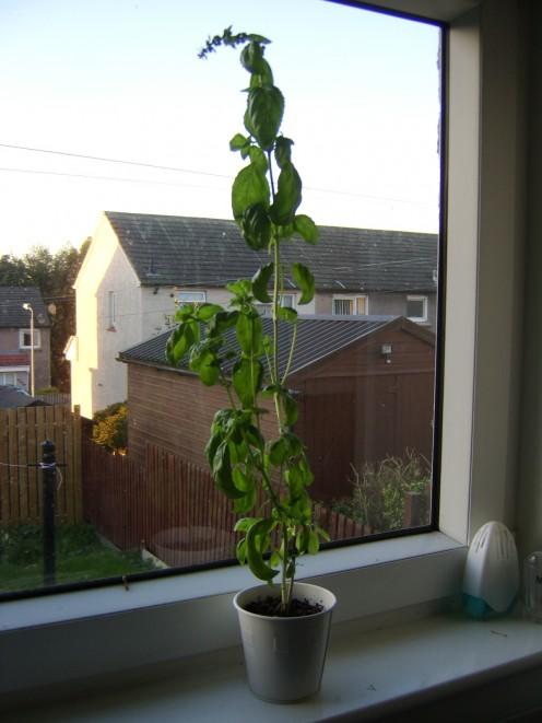 A Basil Plant on the Kitchen Windowsill