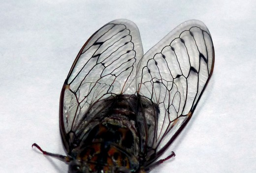 In this photo you can clearly see the veins that add strengh and rigidity to the cicada's wings
