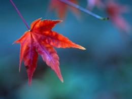 Beautiful maple leaves