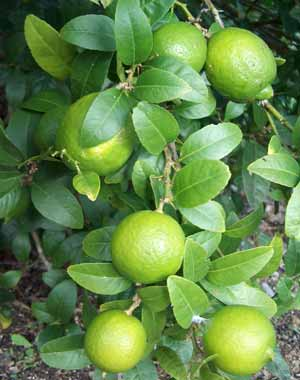 Delicious key limes