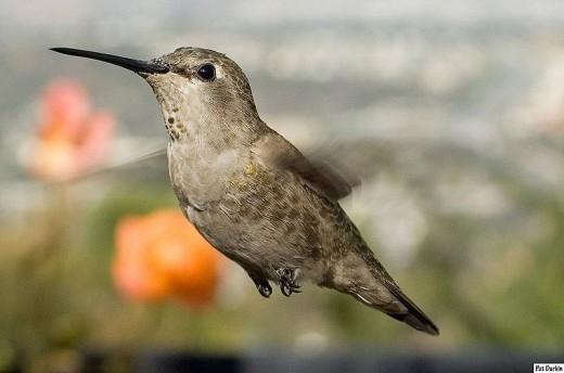 Female Anna's Hummingbird, hovering.