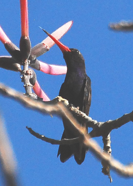 Doubleday's Hummingbird (Cynanthus doubledayi or Cynanthus latirostris doubledayi) at a refuge NE of Tehuantepec, 080331.
