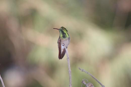 Berylline Hummingbird (Amazilia beryllina), in Mexico.