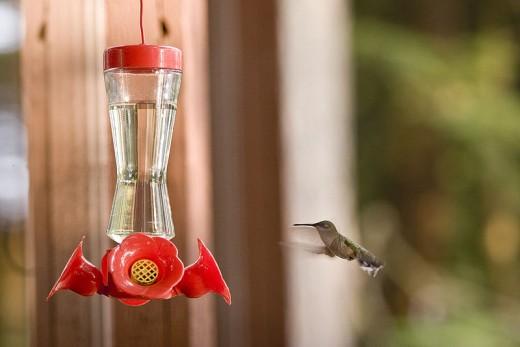 Hummingbird feeding at Ganoga Lake in Colley Township, Sullivan County, Pennsylvania in the United States.