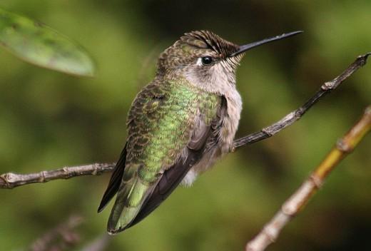 Calypte anna Category:Perched hummingbirds.