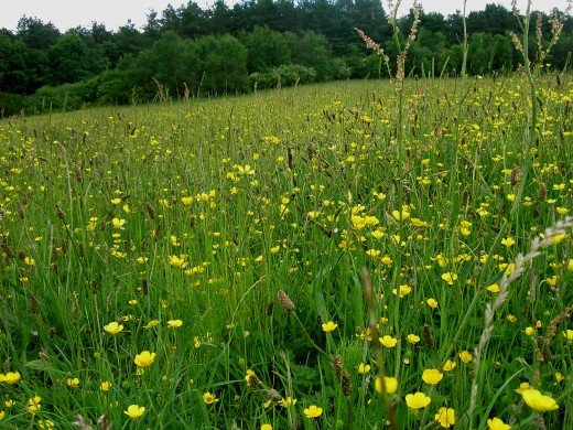 HAY MEADOWS --Yellow rattle encourages other species to grow.