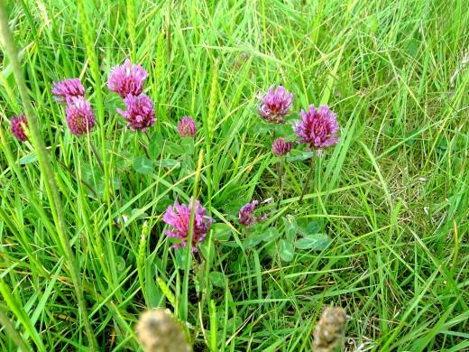 Clover a common grassland plant