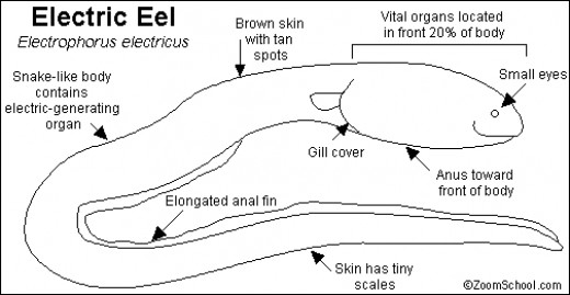 Electric Eels are long worm like creatures and it is known to science that electric eels can generate electric disharges powerful enough to disable or kill prey. Electric eels are not true eels, they are only eel-like in shape.