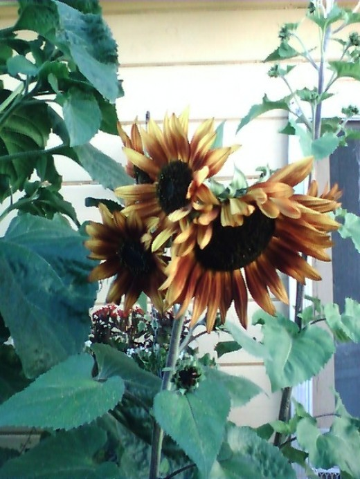 This was a breathtaking sunflower- I planted some more of these this year- beautiful rust color!!