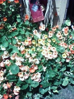 Apparently I was only supposed to see these Nasturtiums in summer- but where I live they grew in the winter months for me