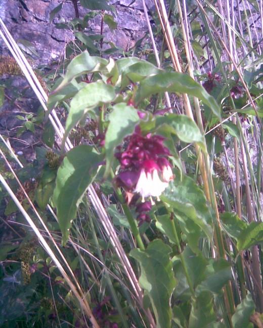 flowering raceme Leycesteria formosa