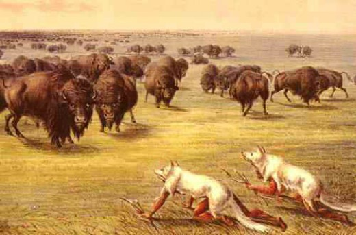 In the ages before the horse, the bison hunt required a lot of stealth and skill. There were a number of ways to get food from this large animal.