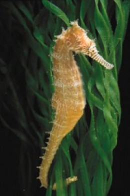 A spiny seahorse wraps its tail around blades of sea grass. (Edward Lines/Shedd Aquarium)