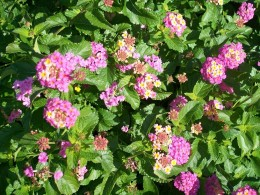 Pink and yellow Lantana, an important nectar plant for butterflies.