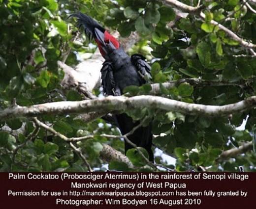 Goliath Cockatoo (Probosciger Aterrimus) in the tropical rainforest of West Papua - the Republic of Indonesia