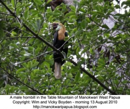 Hornbill in a tree in the Table Mountain near Manokwari city - the capital of West Papua province, the Republic of Indonesia