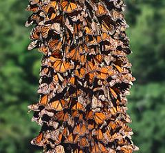 A pine tree trunk in Mexico is covered with Monarch butterflies.  photo, Wall Street Journal, 1984