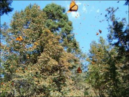 Butterflies in Michoacan, Mexico cling and hang from trees by the millions.  photo by Purdue.edu