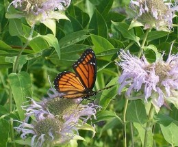 A Viceroy butterfly feeds on the nectar of many locally grown flower types.  This one was on prolific pale lavender blossoms last spring.