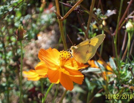 A yellow Sulphur snacks on a bright flower - and gives beauty to the appreciative world.