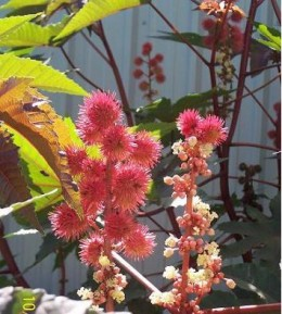 The bright Castor Bean blossoms are a nectar source.  The plant is considered poisonous to humans unless it is 'processed' correctly.