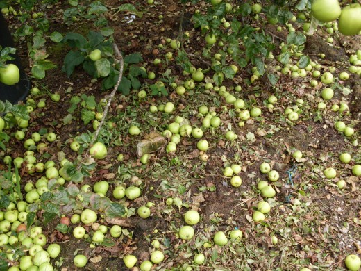 apples apples everywhere...