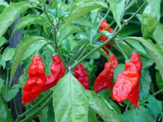 Bangladeshi Naga Chilli (The Hottest In The World!)