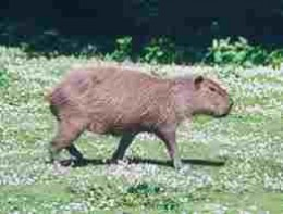 Capybara: often taken by anacondas