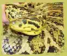 Beautiful Yellow Anaconda