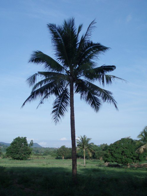 Coconut Palm - one of the many trees.