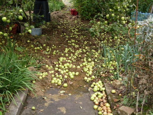 fallen apples on a soft carpet of grass clippings