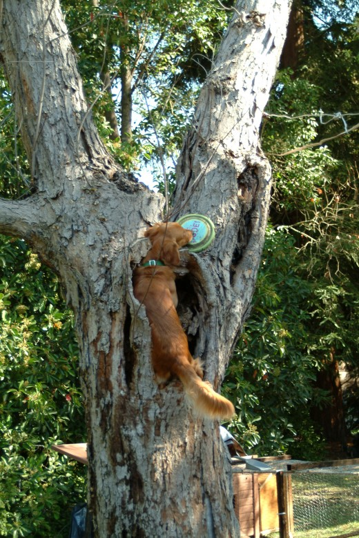 He was quite skilled at leaping into the tree and wiggling the disc free from its perch now. His attitude about the game became enthusiastic as his tail rode high as he went on his quest.