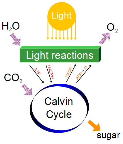 Photosynthesis changes the energy from the sun into chemical energy and splits water to liberate O2 and fixes CO2 into sugar