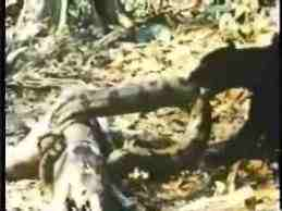 "Jaguar and anaconda battle.  The snake seems reluctant.  This ""fight"" is on several videos sites, like flikr.."