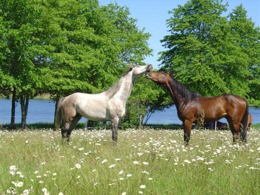 Horses by Videix Lake