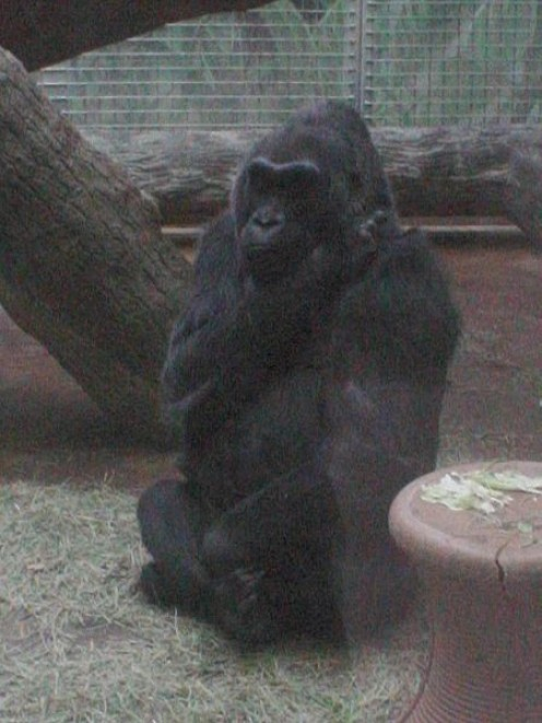 First in-Zoo born Gorilla, Colo, at Columbus Zoo in 2009. Probably judging costumes at Boo at the Zoo.