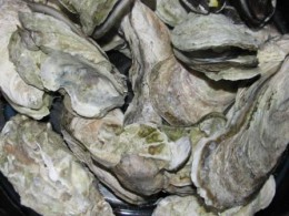 steamed Virginia oysters