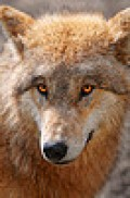 THE WOLF....THE GRIZZLY......THE TREES.... WHATS NEXT .......THE BREEZE.