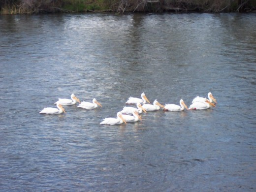 Pelicans on the Klamath River, not far from Iron Gate Dam.