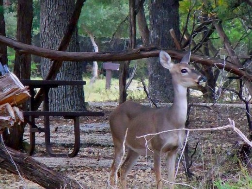 The local Deer in the CG.