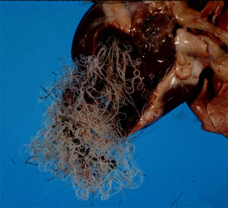 Heartworms look like spaghetti noodles