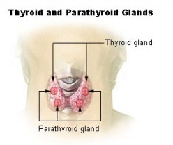 Location of thyroid gland